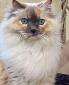Bijou Cat for Cover